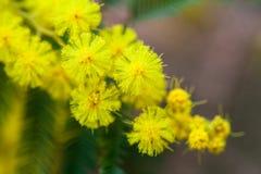 Kolor żółty czułe mimozy przy wiosna czasem Zdjęcia Royalty Free