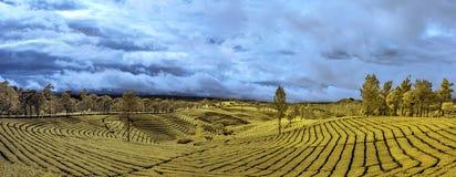 Kolor żółty Deseniowa Herbaciana plantacja Zdjęcie Royalty Free
