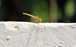 Kolor żółty drangonfly Fotografia Royalty Free