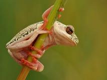 Kolor żółty drzewnej żaby łaciasty gapić się Fotografia Stock