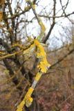 Kolor żółty gałąź Zdjęcia Stock