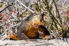 Kolor żółty gruntowa iguana obraz royalty free