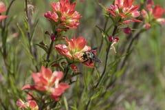 Kolor żółty i czerń Mamroczemy pszczoły Pollenating Różowego Indiańskiego Paintbrush F Fotografia Stock