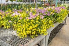 Kolor żółty i menchia Kwitniemy w Wiszących plantatorach -2 Obrazy Stock