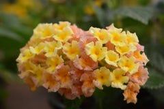 Kolor żółty i menchii kwiaty Fotografia Royalty Free