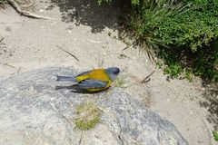 Kolor żółty i popielaty ptak w skale, dziki życie obrazy royalty free