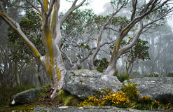 Kolor żółty i srebra Gumowy drzewo Fotografia Stock