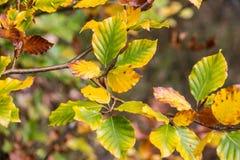 Kolor żółty i zieleń opuszczamy na brown gałąź Zdjęcia Royalty Free