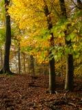Kolor żółty i zieleń opuszczamy na bukowych drzewach w jesieni Zdjęcie Royalty Free