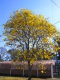 Kolor żółty ipe - drzewo zdjęcie royalty free