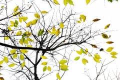 Kolor żółty jesienni liść Obrazy Royalty Free