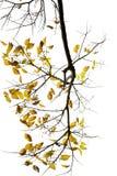Kolor żółty jesienni liść Zdjęcie Royalty Free