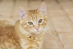 Kolor żółty kiciuni kota przybłąkany portret Obraz Royalty Free