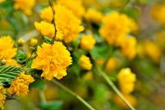 Kolor żółty kwiaty Obraz Royalty Free