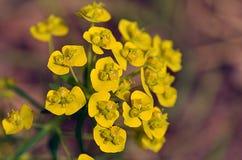 Kolor żółty kwiaty Zdjęcie Royalty Free