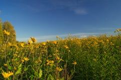 Kolor żółty kwiaty Fotografia Royalty Free