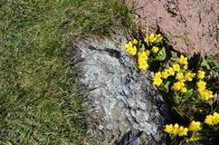 Kolor żółty Kwitnie bagno nagietka Zdjęcie Stock