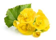 Kolor żółty kwitnie begonie z liściem Obraz Stock