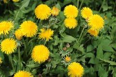 Kolor żółty kwitnie dandelion na zielonym tle obraz stock