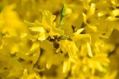 Kolor żółty kwitnie, drzewo, tło, pączki kwitnie, natura, młodość, piękno, czystość, pojęcie wiosna obrazy royalty free