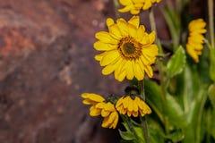 Kolor żółty kwitnie Helianthus tuberosus topinambur zdjęcie royalty free