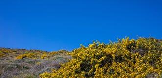Kolor żółty kwitnie krzaka, skalisty krajobraz w wiośnie, błękita nieba jasny tło Grecja obrazy stock