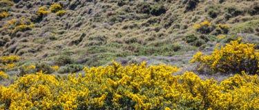 Kolor żółty kwitnie krzaka, skalisty krajobraz w wiośnie Grecja fotografia stock