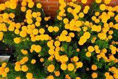 Kolor żółty kwitnie kwitnącego nagietka Zdjęcia Royalty Free