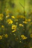 Kolor żółty kwitnie kwitnienie w świetle słonecznym z zielonym tłem Obrazy Stock