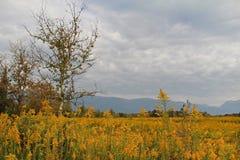 Kolor żółty kwitnie kwitnienie w polu przeciw tłu góry Abkhazia Popularny turystyczny miejsce przeznaczenia zdjęcie royalty free