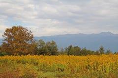 Kolor żółty kwitnie kwitnienie w polu przeciw tłu góry Abkhazia Popularny turystyczny miejsce przeznaczenia obraz royalty free