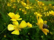 Kolor żółty kwitnie na Czerwa polu Obraz Royalty Free
