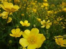 Kolor żółty kwitnie na Czerwa polu Fotografia Royalty Free