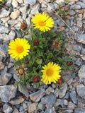 Kolor żółty kwitnie na rockowej podłodze obrazy stock