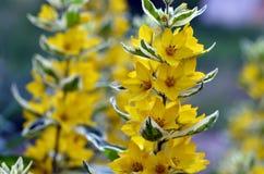 Kolor żółty kwitnie na trzonach z różnobarwnymi liśćmi Zdjęcia Stock