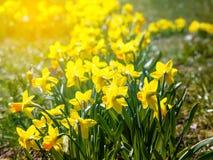 Kolor żółty kwitnie narcyza obraz stock
