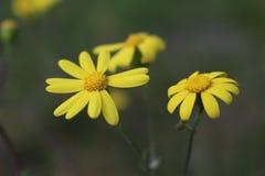 Kolor żółty kwitnie od Belasitsa Fotografia Stock