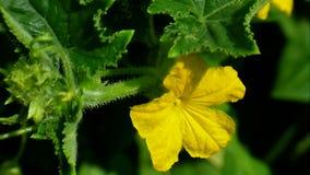 Kolor żółty kwitnie ogórek zbiory wideo