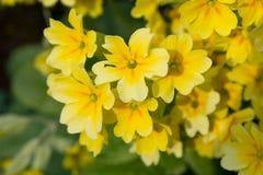 Kolor żółty kwitnie pierwiosnki na łóżku (Primula Vulgaris) Fotografia Stock