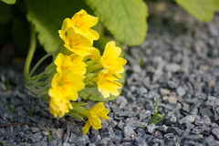 Kolor żółty kwitnie pierwiosnki na łóżku (Primula Vulgaris) Obrazy Royalty Free