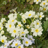 Kolor żółty kwitnie pierwiosnki na łóżku (Primula Vulgaris) Zdjęcia Stock