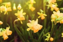 Kolor żółty kwitnie plenerowego obrazy royalty free