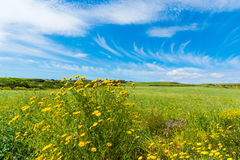 Kolor żółty kwitnie pod niebieskim niebem w wiośnie Zdjęcie Stock