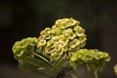 Kolor żółty kwitnie przy ogródem w Wietnam Obraz Royalty Free