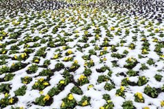 Kolor żółty kwitnie w śniegu Fotografia Royalty Free