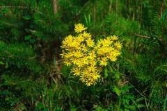 Kolor żółty kwitnie w formie kierowego Złotego Ragwort Zdjęcia Stock