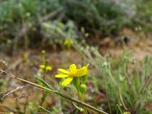 Kolor żółty kwitnie w górach Fotografia Royalty Free