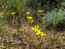 Kolor żółty kwitnie w górach Zdjęcie Royalty Free