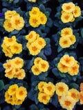 Kolor żółty kwitnie w garnku Fotografia Stock