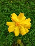 Kolor żółty kwitnie w ogródzie zdjęcie royalty free